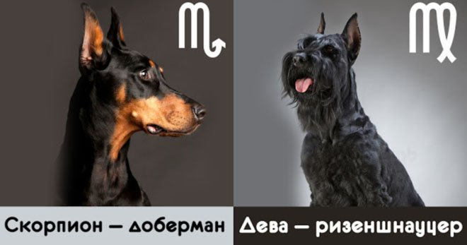 На собаку какой породы больше всего похож каждый знак Зодиака. Да уж, я чихуахуа...