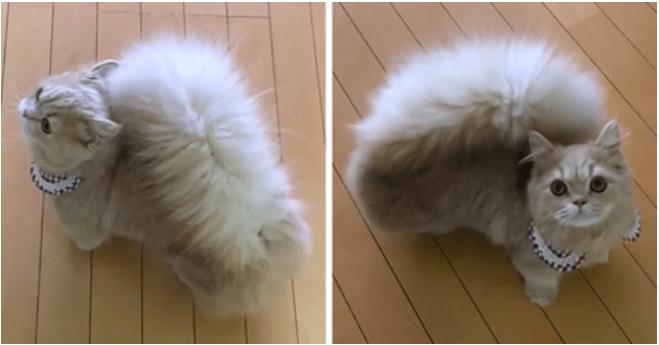 Невероятно! Кошка с хвостом белки (видео)