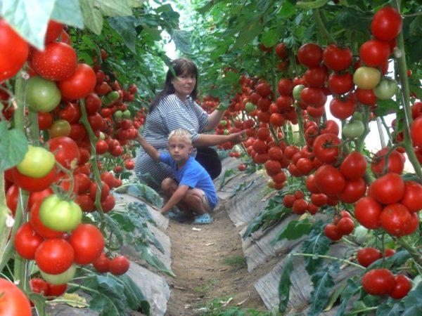 Супер-рецепт подкормки для томатов: это очень эффективное средство!