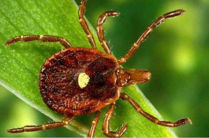Если укусил клещ: чем это может быть опасно и как вытащить паразита. ВИДЕО