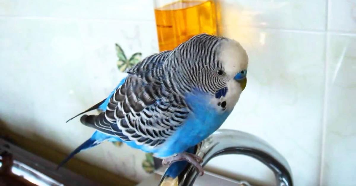 «Кто чай не пьет — тот чмо». Попугай стал звездой Сети!
