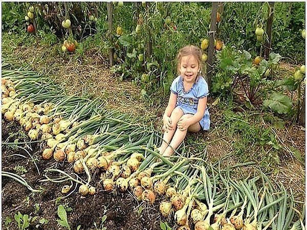 Как каждый год стабильно получать большой урожай лука: 4 простых совета