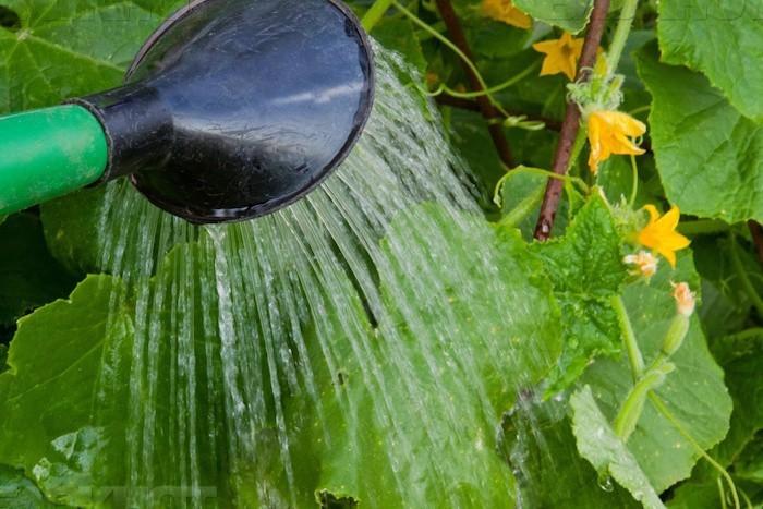 Дрожжевой раствор, который гарантированно спасёт ваши огурцы и помидоры от болезней