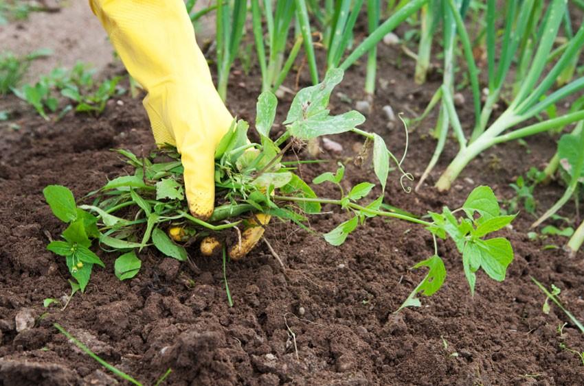 Чем прикрывают почву, чтобы избавиться от сорняков?