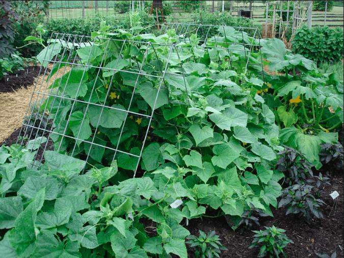 Экономьте деньги на огурцах. Как вырастить большой урожай с помощью простых советов