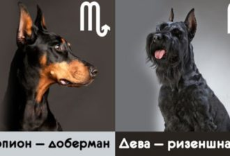 На собак какой породы вы больше всего похожи, но основании вашего знака Зодиака