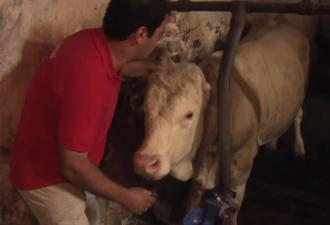 Видео: этот бык был прикован к цепи в течение всей своей жизни. Взгляните, как он поблагодарил человека, который освободил его…