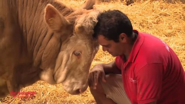 Видео: бык был прикован к цепи всю жизнь. Как он поблагодарил человека, который освободил его…