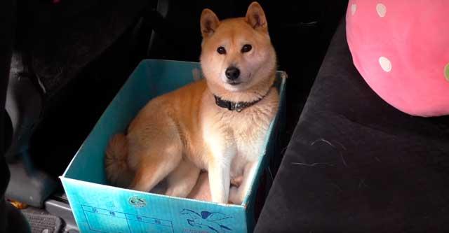 Хозяин подшутил над своей собакой, постоянно уменьшая её любимую коробку. Умора, да и только!