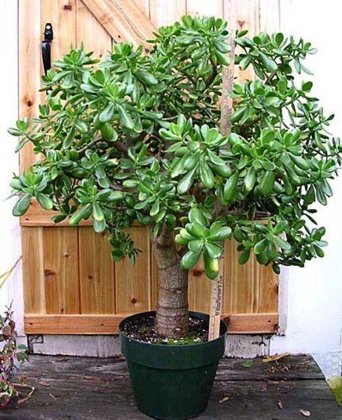 У вас растет денежное дерево? Вы даже не знаете, что это за чудо-растение!