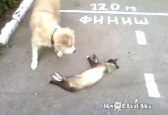 Увидев собаку, кот тут же притворился мёртвым. Это надо видеть!