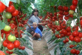 Супер-рецепт для томатов: это очень эффективная подкормка!
