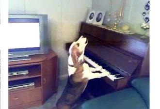 Пес играет на пианино и великолепно поет! Вы не поверите своим глазам!
