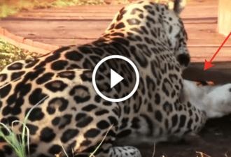 Ягуар набросился на собаку. Как вдруг… внимание на 0:20 секунду!
