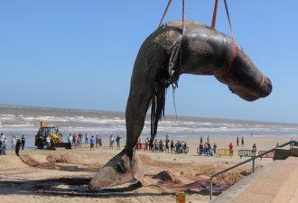 На побережье Испании нашли мертвого кита: людей поразило то, что они нашли в его желудке!