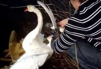 Двое лебедей молили людей о помощи. То, что сделал этот парень — просто невероятно!