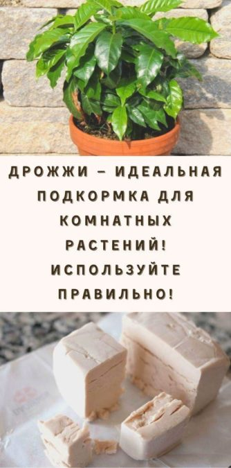 Дрожжи — идеальная подкормка для комнатных растений! Используйте правильно!