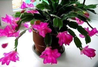 Маленькая хитрость: чтобы цветы в вашем доме цвели пышно и долго