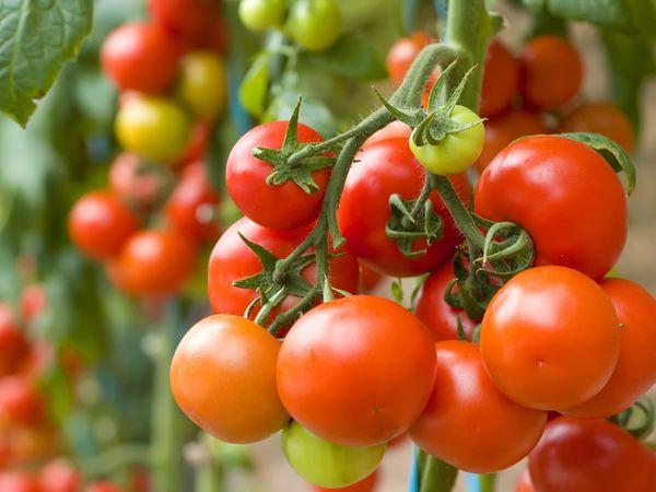 Рядом с чем можно и нельзя сажать помидоры. Урожай порадует!