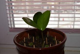 Обычные спички могут спасти умирающее растение! Опытные цветоводы делятся своими секретами…