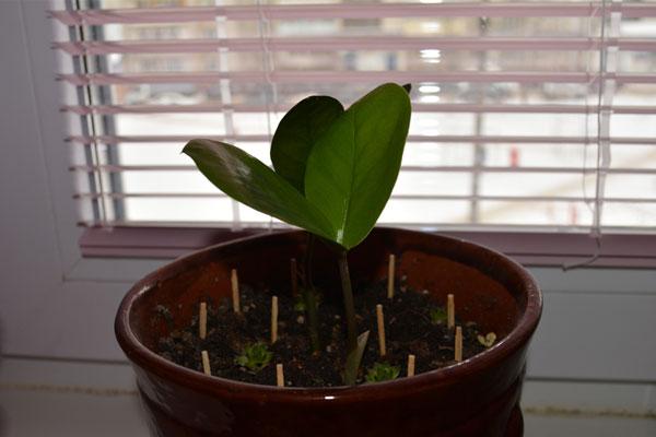 Обычные спички спасут умирающее растение! Опытные цветоводы делятся секретами