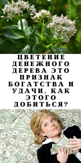 Цветение денежного дерева это признак богатства и удачи. Как этого добиться?