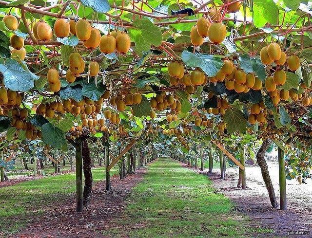 Вырастить настоящие вкусные киви дома на подоконнике проще, чем кажется
