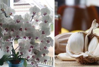 Ваши орхидеи спасет чеснок! Всего через месяц фаленопсис зацветет!