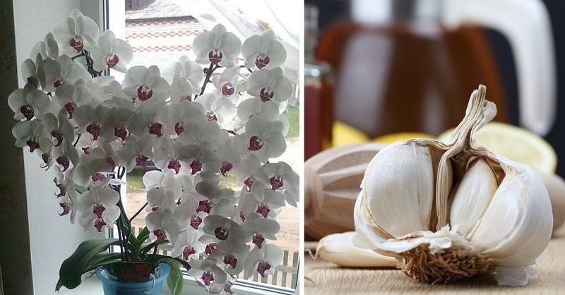 Ваши орхидеи спасет чеснок! Фаленопсис буйно зацветёт уже через месяц