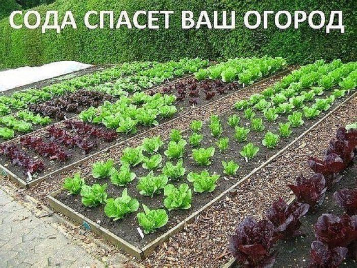 Сода спасёт ваш огород от болезней и вредителей