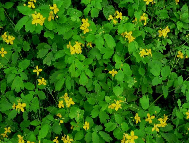 Это растение — настоящий дар природы от сотни недугов! Вот что с ним делать