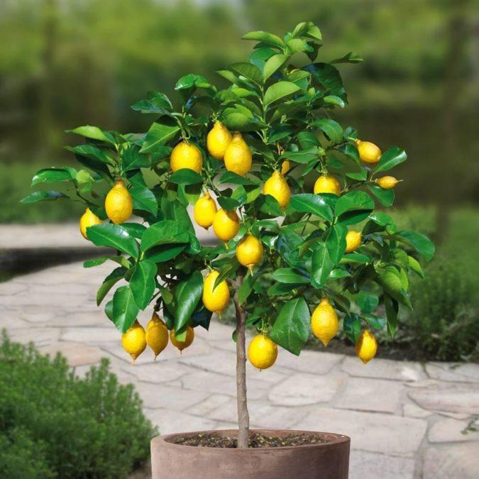 Как вырастить лимонное дерево дома из косточек - подробная инструкция
