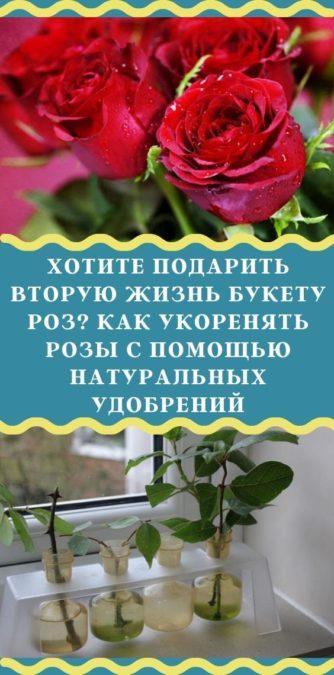 Хотите подарить вторую жизнь букету роз? Как укоренять розы с помощью натуральных удобрений
