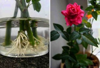 Хотите подарить вторую жизнь букету роз? Научитесь укоренять розы с помощью натуральных удобрений!