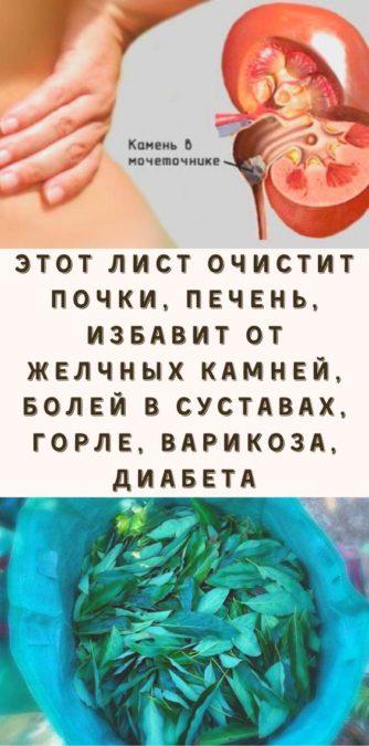 Этот лист очистит почки, печень, избавит от желчных камней, болей в суставах, горле, варикоза, диабета