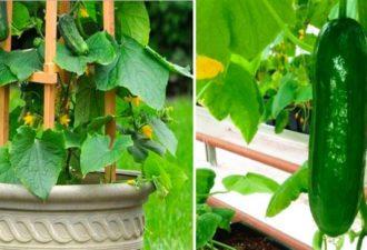 Экономьте деньги на огурцах. Вот как идеально их вырастить в своем саду