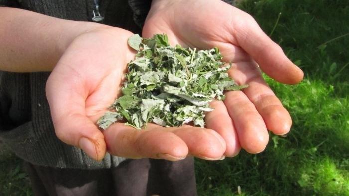 Почему так важно обязательно засушить листья малины на зиму?