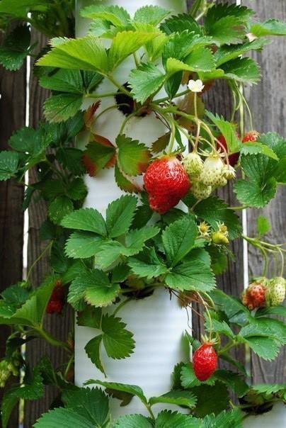 Все плюсы вертикальных грядок для выращивания клубники