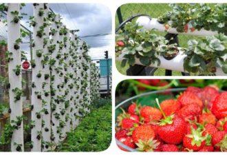 Выращивая клубнику таким способом, вы оцените все плюсы вертикальных грядок!
