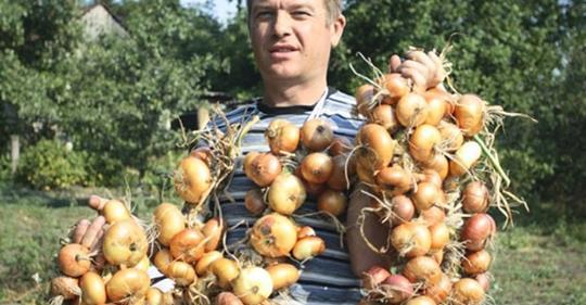 4 простых совета как получить богатый урожай лука