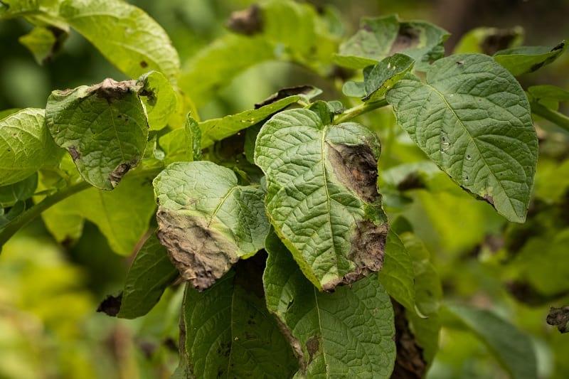 Одна капля йода против фитофтороза, мучнистой росы и вредителей