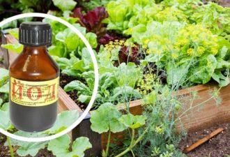 Одна капля йода, и не узнаешь свой огород! Против фитофтороза, мучнистой росы и вредителей