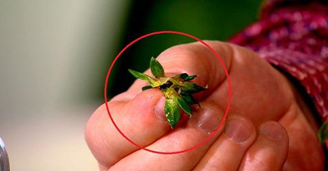 Сушеные хвостики от клубники намного дороже ,чем сама ягода, а многие этого не знают. Рассказываем почему